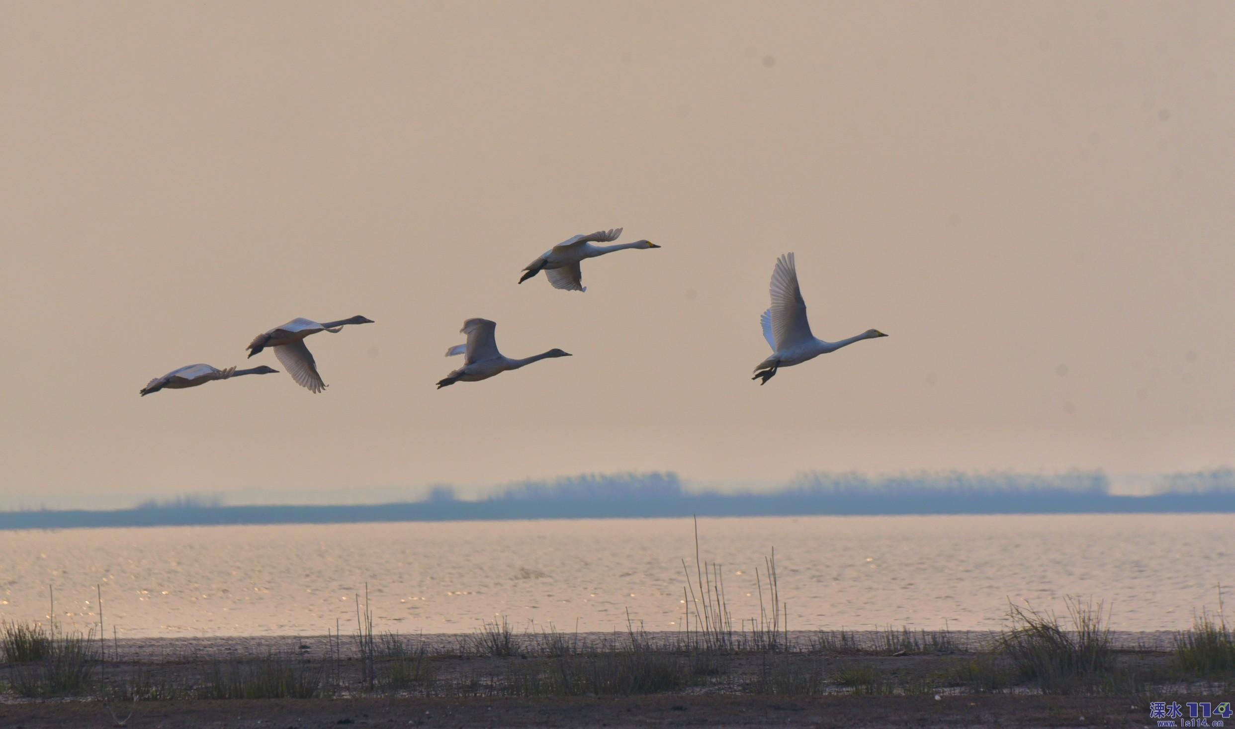 石臼湖的天鹅
