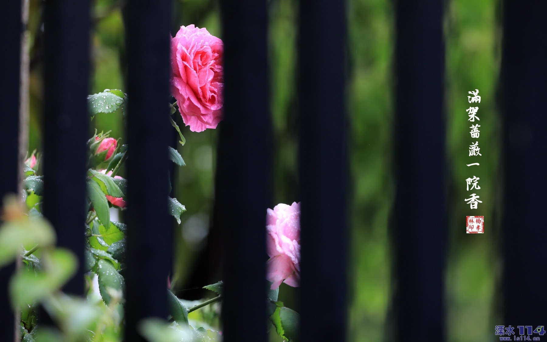 满架蔷薇一院香